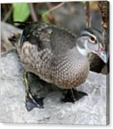 Juvenile Male Wood Duck Canvas Print