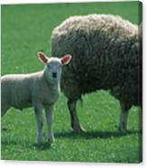 Lamb Chop With Mother Canvas Print