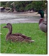 New Zealand - Mallard Ducks On The Grass Canvas Print