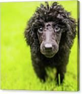 Poodle Puppy Canvas Print