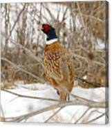 Ring Necked Pheasant Canvas Print