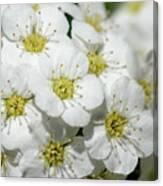 White Spiraea Flower Canvas Print