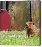 5002-groundhog Canvas Print