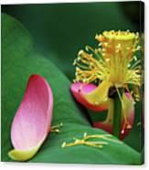 Blossoming Lotus Flower Closeup Canvas Print