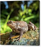 Amphibian, Common British Toad / Frog Canvas Print