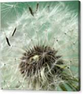Dandelion Seeds On Flower Head Canvas Print