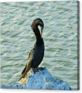Male Anhinga Canvas Print