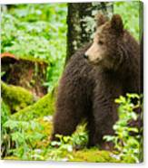 One Year Old Brown Bear In Slovenia Canvas Print