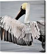Pelican Take Off Canvas Print