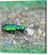 6-spotted Green Tiger Beetle Canvas Print