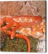 Corn Snake Canvas Print