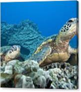 Hawaii, Green Sea Turtle Canvas Print