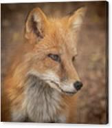 Russian Red Fox Canvas Print