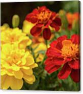 Tagetes Patula Fully Bloomed French Marigold At Garden In Octob Canvas Print