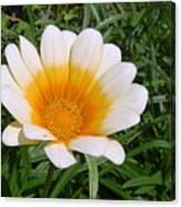 Australia - White Yellow Daisy Flower Canvas Print