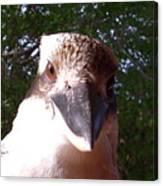 Australia - Kookaburra Stickybeak Canvas Print
