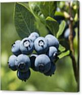Blueberry Bush Canvas Print