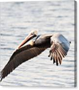 Pelican In Flight Canvas Print