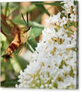 Clearwing Hummingbird Moth Canvas Print