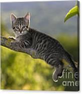 Kitten In A Tree Canvas Print