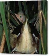 Least Bitterns On Nest Canvas Print