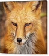 Russian Red Fox Canvas Print