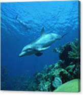 Bottlenose Dolphin Tursiops Truncatus Canvas Print