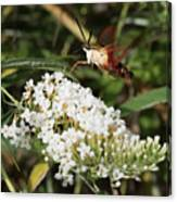 Clearwing Hummingbird Moth Canvas Print