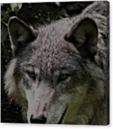 The Wild Wolve Group B Canvas Print
