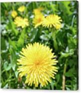 Yellow Dandelion Flowers Canvas Print
