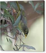 Bellbird Canvas Print