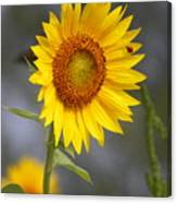#933 D958 Best Of Friends Colby Farm Sunflowers Newbury Massachusetts Canvas Print