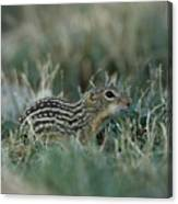 A 13-lined Ground Squirrel At The Henry Canvas Print