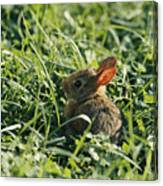A Baby Cottontail Rabbit Sits Among Canvas Print