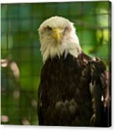 A Bald Eagle At The Lincoln Zoo Canvas Print