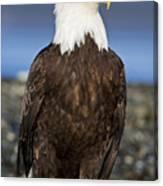A Bald Eagle Canvas Print