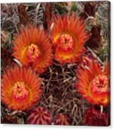 A Barrel Cactus Is Blooming Canvas Print
