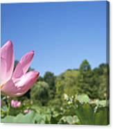 A Beautiful Emperor Lotus Blooms Canvas Print