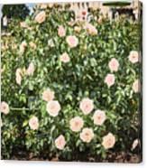 A Beautiful Rose Bush Castle Park 6 Canvas Print
