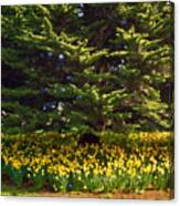 A Bed Of Narcissus Canvas Print