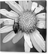A Beetle And A Daisy  Canvas Print