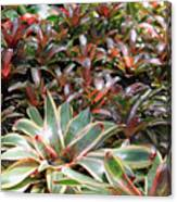 A Bevy Of Bromeliads Canvas Print