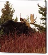 A Big Fierce-eyed Bull Moose Canvas Print