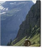 A Bighorn Sheep Ram, Ovis Canadensis Canvas Print