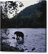 A Black Bear Searches For Sockeye Canvas Print