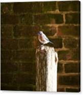A Bluebird At The Governor's Palace Gardens Canvas Print