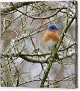 A Bluebird  Canvas Print