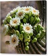 A Bouquet Of Saguaro Blossoms Canvas Print
