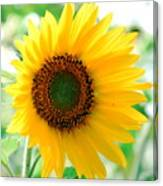 A Bright Yellow Sunflower Canvas Print