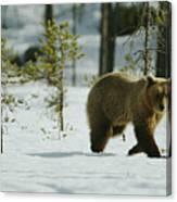 A Brown Bear Ursus Arctos Walks Canvas Print